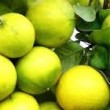 Working Paper Publishing: The Resilience of Bergamot Farmers in the Reggio Calabria Province of Southern Italy