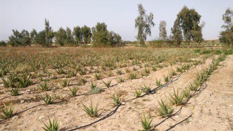 aloe vera sustainable food jordan coltivazione giordania alimenti sostenibili arco