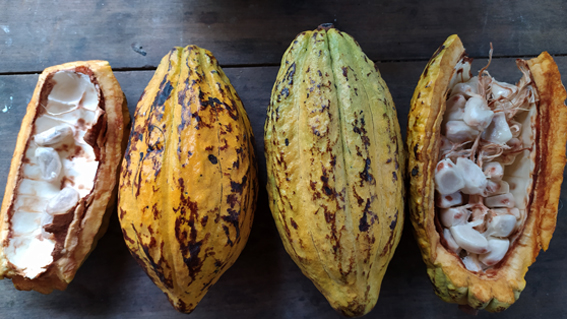 cacao cocoa ecuador need analysis sostenibilità sviluppo sustainability development arco arcolab